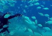 Diver Swims With Tiger Sharks