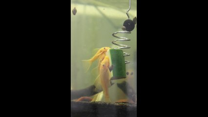 The Pleco Feeder In Action