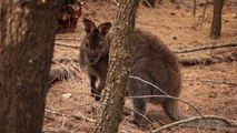 Australie-Tasmanie: Rencontre avec le wallaby.