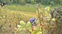 En Alsace, les vendanges son un sport extrême
