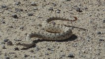 Researchers Study Real Sidewinder Snakes To Improve Sidewinding Robots