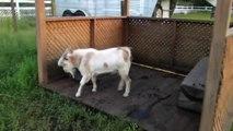 Une chèvre tombe dans les pommes toute les 10 secondes.