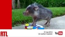 VIDÉO - Chien volant, cochon musicien, bébés jaguars : les animaux mignons de la semaine