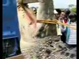 2 ° VIDEO Coccodrillo gigante catturato vivo nelle Filippine 7 metri di lunghezza - Giant Crocodile Captured Alive in Philippines 7 meters long WWW.GOODNEWS.WS