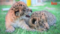 Liliger Cubs Are The Cute Offspring From A Liger And A Lion