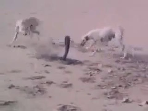 snake and dog real fight  http://www.globalviewforum.com/