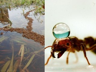 "Floating ""Rafts"" Made Of Fire Ants Involve Some Impressive Engineering"