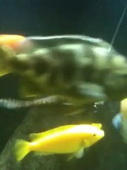 The lace catfish eating shrimp off The Pleco Feeder
