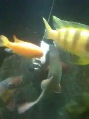 Cichlids Eating Shrimp Off The Pleco Feeder
