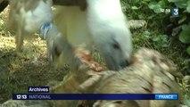 Les vautours, nouveaux ennemis des bergers des Pyrénées