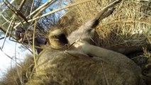 Une lionne chasse avec une GoPro