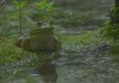 Bullfrogs in Slow-Motion