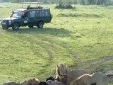 Lion attacks Buffalo in Masai Mara, Kenya with Wanyama Africa Safari