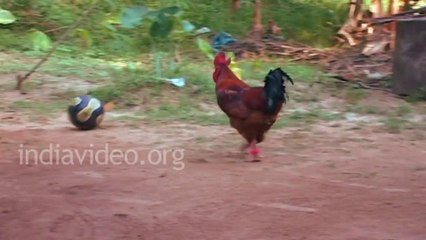 Amazing Football player Ever. Chicken playing football