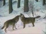 La vie du loup par boigelot nature
