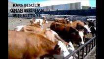 Kars Dana Fiyatları Kars Erkek Dana Fiyatları Kars Dişi Dana Fiyatları Kars Hayvan Fiyatları Kars Buzağı Fiyatları