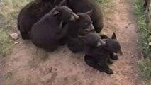 Des ours font des trucs d'humain - compilation d'animaux marrants.