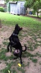 Cão apanha bola como nunca... fail