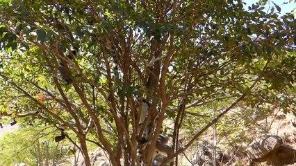 Les lemuriens LEMUR-CATTA