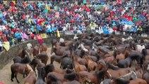 Rapa das Bestas, una tradición de siglos que enfrenta a hombres y caballos salvajes
