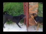 So hilarious dogs about to fight each other.. but You're lucky there's a fence here