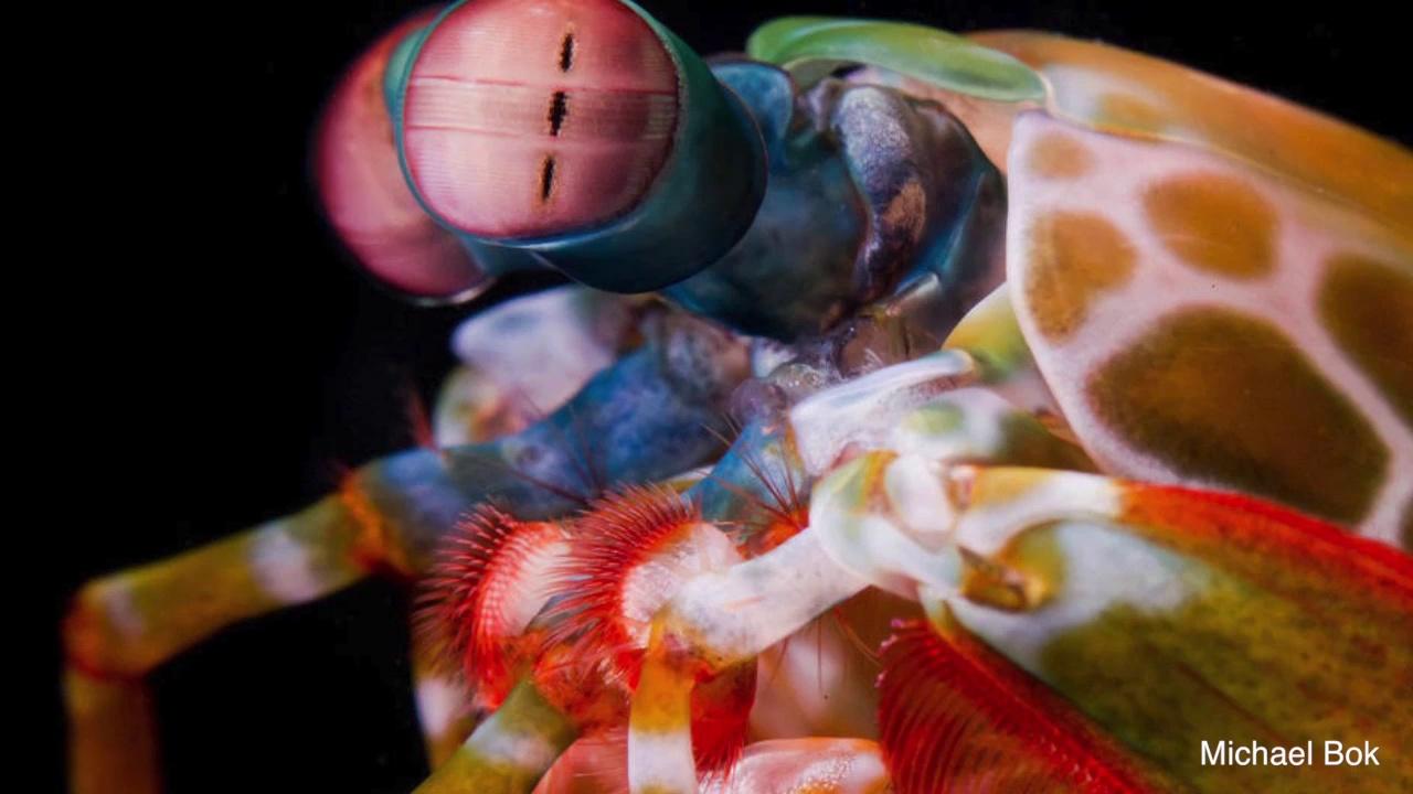 Scientists Closer To Explaining The Mantis Shrimp's Extraordinary Vision