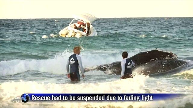 Rush to rescue stranded whale in Australia