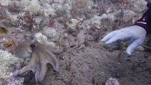 Octopus Puts Up Its Dukes Against Scuba Diver
