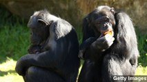 Chimp Attack - video dailymotion