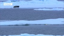 ▶ Ninja Polar Bear Attacks Bearded Seal Fail - Narrated by David Tennant