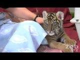 Un bébé tigre trop mignon