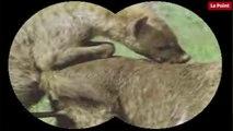 Nos amies les bêtes de sexe : La hyène