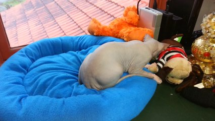 cute sphynx kittens playing together - http://drzenaidycastro.com.au/ City Dentist Melbourne Dr Zenaidy Castro VOGUE SMILES MELBOURNE COSMETIC DENTIST CITY SMILES MELBOURNE cbd city 3000 AUSTRALIA  (3)