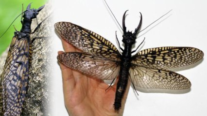 Largest (Scariest) Aquatic Bug Discovered in China