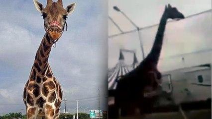 Giraffe Escapes Circus, Tours Mexico