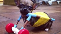 Vets Create Toy-Constructed Cart For Disabled Chihuahua