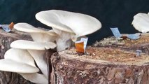 Growing Mushrooms on Your Own Substrate and Container Using Mushroom Garden Kit