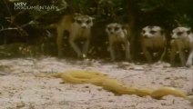 World's Deadliest Attack on King Cobra -- Meerkats Trying to Kill Deadly King Cobra