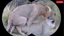 Nos amies les bêtes de sexe : Le lion