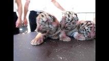 Oise : naissance de quatre bébés tigres