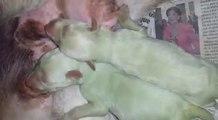 Une chienne met au monde deux petits chiots... verts !