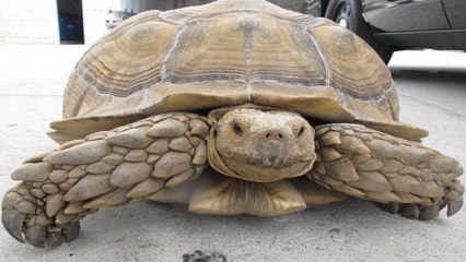Police Arrest Derelict Tortoise in California