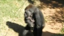 Ce bébé gorille est inséparable de sa mère