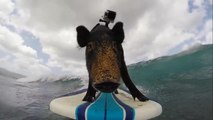 GoPro presents Kama The Surfing Pig - Surf