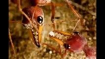 Orman Altında Yaşam | Katil Karıncalar