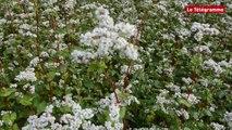 Bretagne. Le blé noir est en pleines fleurs