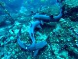 Plongée Costa Rica Requin Marteau GoPro HD (Plongée Marie Claire)