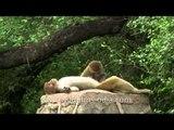 Macaques delhi L63 8