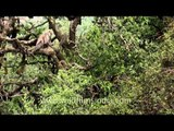 Hanuman langurs jumping and climbing trees in Uttarakhand