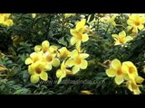 This Allamanda  in India has deep yellow flowers